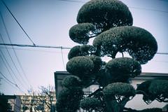 Pruned pine (yasu19_67) Tags: street sky green japan alley bonsai osaka digitaleffects pruned 38mm filmlook filmlike vsco vscofilm sony7ilce7 9538mmf28