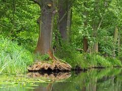 Spreewald (Ina Hain) Tags: trees tree green nature water landscape wasser forrest natur olympus kanal grn spree landschaft wald bume spiegelung baum burg spreewald schilf wurzel wurzeln spreewaldhof hochwald leipe fliess