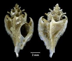 MOL_ 3727_T_cf_jardinreinensis_3727_01_524x440.gif (MaKuriwa) Tags: mollusca gastropoda neogastropoda muricidae typhis
