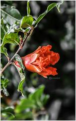/ Pomegranate (Ramalakshmi Rajan) Tags: pomegranate flowers flower red inmygarden nikond5000 nikon nikkor18140mm nature