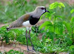 Sbado-animal (sonia furtado) Tags: sbadoanimal animal ave queroquero fazendareal macaba rn ne brasil brazil soniafurtado nanaturezainnature explore
