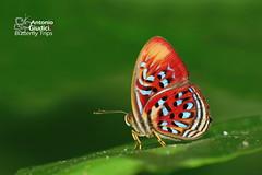 The Common Red Harlequin -  (Antonio Giudici Butterfly Trips) Tags: thailand butterflies lepidoptera krabi lycaenidae riodininae thecommonredharlequin  khaophanombenchenationalpark paralaxitatelesiaboulleti