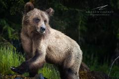 Khutzeymateen Grizzly Bear (Andrew Cooney Photography) Tags: bear canada nature nikon britishcolumbia wildlife explore lonelyplanet sanctuary nationalgeographic princerupert grizzlybear natgeo khutzeymateen grizzlybearsanctuary explorecanada nikond800 explorealberta andrewcooney andrewcooneyphotography