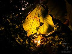 Behind the Leaf (Thomas TRENZ) Tags: austria behind blatt dahinter huawei huaweip9 latesun leaf leica oo österreich smartphone sommer sonneuntergang spätsonne summer sunset thomastrenz trenz vienna wien