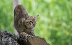cat (13) (Vlado Ferenčić) Tags: cats animals catsdogs animalplanet podravina nikkor8020028 nikond600 novovirje