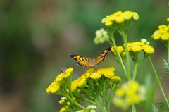 Butterfly on Tansy (RaymondDukes) Tags: macro butterfly tansy