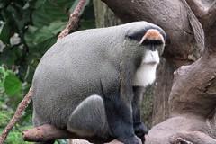 DeBrazza's monkey (BarryFackler) Tags: life vacation animal fauna mammal zoo monkey midwest nebraska being jungle ape omaha creature biology primate omahazoo vertebrate zoology organism henrydoorlyzoo 2016 omahane omahanebraska debrazzasmonkey liedjungle ceropithecusneglectus barryfackler barronfackler henrydoorlyzooandaquarium cneglectus