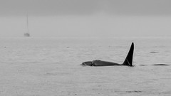 Be Afraid. Be Very Afraid! (RussellK2013) Tags: nikon nikkor ngc nature 300mmf4epfedvr 300mm prime predator sea ocean outdoor animal whale water wildlife wild killer killerwhale britishcolumbia quadra quadraisland bw