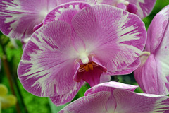 2016-07-23 08799 Orchid Show, SF County Fair Bldg (Dennis Brumm) Tags: sanfrancisco california july 2016 orchids exposition flowers plants bromeliads