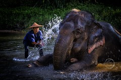 Splashing Good Time - Elephant