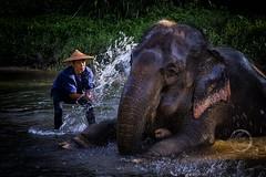 Splashing Good Time - Elephant