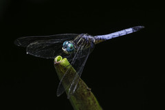 DragonFly_SAF9985 (sara97) Tags: copyright2016saraannefinke dragonfly flyinginsect insect missouri mosquitohawk nature odonata outdoors photobysaraannefinke predator saintlouis towergrovepark urbanpark
