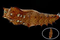 tsumagurohyoumonpp_16723stkb (takao-bw) Tags:  indianfritillary  pupa  brushfootedbutterfly nymphalidae butterfly lepidoptera insect japan