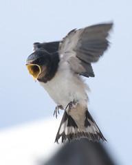 Hungry (carina.brannstrom_hnc) Tags: bird martin infinitexposure flying