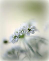 White (ElaR.) Tags: nature flowers macro highkey meadow meadowflowers meadowplants plants white whiteflower outdoor nikon composition delicate small summer summertime summerflowers garden ngc