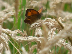 x P2510311c Eyes in the Grass ! . . Bright Butterfly .. Gate-Keeper inDEED !! . .  ( In the long grass 'meadow' . .. .  Black&White! .. & ORANGE! !!) (Erniebobble::) Tags: erniebobble 2016 nature newforest wildlifegarden wildlife balance butterfly lepidotera wings ephemeral edge environment climate delicate feeding colours chrispackham bct fleeting meadow restful reflection tranquil metamorphosis transient transitory painting pattern passage art floating flower garden gentle peaceful portrait resting suspended surface summer hues biodiversity ecosystem weather study stilllife secretworld unseen unsprung glimpse soft subdued muted season springwatch textural symbiosis pollination nectar antennae illuminating imagination inspiring education learning flight alight above harmonious happy smile