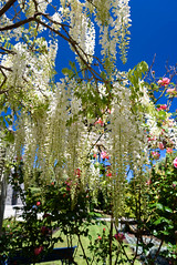 Roses and Wisteria (Jocey K) Tags: akaroa newzealand bankspeninsula southisland flowers trees roses wisteria