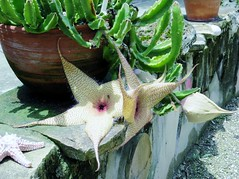 Stapelia gigantea --  Starfish Flower 4043 (Tangled Bank) Tags: kanapaha botanical garden plant flora botany botanic alachua county florida stapelia gigantea starfish flower 4044 flowering