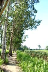 IMG_9458 -  Nam Sang Wai (Mak_Ho) Tags:  namsangwai  yuenlong  newterritories  lemoneucalyptus  vegetation  tree  leaf  grassland  scenic  scenicphoto  scenicsites  scenicspot  nature  natureenvironment  photography   hike  canon 700d hongkonglandscape  hongkong landscape