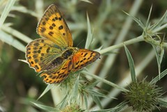 Butterflies of Bulgaria: Purple-shot copper (female) (Elisa1880) Tags: lycaena alciphron violette vuurvlinder heodes purpleshot copper bulgaria bulgarije vlinder butterfly rila mountains rilagebergte monastery