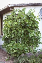 Wein im Garten (blumenbiene) Tags: garten garden weinanbau wein anbau wine growing weintrauben grapes pflanze plant cultivation