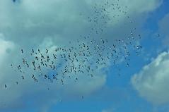 Mixed Flock (nigelphillips) Tags: bird lapwing ornithology flock airbourne flight nature summer behaviour