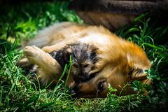 Juguemos (Nicols Letelier V.) Tags: dog perros eos rebele t3 canon 50mm 18 pets mascotas portrait