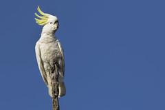 Sulphur-crested Cockatoo 2016-09-04 (60D_3153) (ajhaysom) Tags: sulphurcrestedcockatoo cacatuagalerita woodlandshistoricpark greenvale melbourne australia australianbirds canoneos60d sigma150600