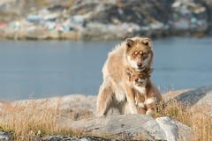 Sled dog and pup (ajmurtha) Tags: disko greenland qiqertaarsuaq dog dogs sleddog winter artctic puppy