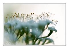 Small world (iandub74) Tags: bokeh petit small light nature close up macro pistil fleur flower iandub74 iandub