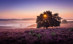 Purple haze (Mario Visser) Tags: sunrise fog forest sun summer purple haze heather thenetherlands heide veluwe zonsopkomst posbank tree