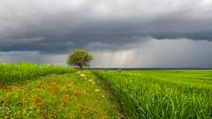 Spring rains (drstar.) Tags: flowers rain landscape spring flickr fields flickrturkey