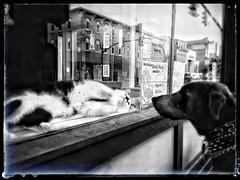 Making friends (LaLa83) Tags: city ohio blackandwhite bw dog pets reflection window animals cat spring feline may streetphotography canine lg doberman 2015 lancaser fairfieldcounty lg3 instagram