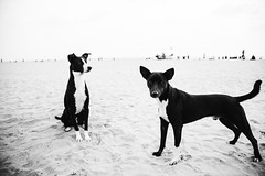 Goan beach dogs are awesome :D (Mayank Sharma renewed :D :D) Tags: india white black streets beach dogs animals goa canon6d mayanksharma