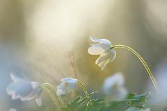 Wood anemones in sunset light (evisdotter) Tags: flowers macro nature bokeh blommor sunsetlight woodanemones vitsippor sooc