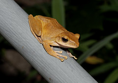 Brown Tree Frog (Polypedates megacephalus) (cowyeow) Tags: china brown nature night forest asian hongkong moss asia nocturnal wildlife chinese amphibian frog frogs treefrog herp herps saikung herpetology polypedatesmegacephalus herping browntreefrog 斑腿泛樹蛙 polypedates megacephalus