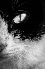 Stare (Many Shades of Grey) Tags: street wild blackandwhite hk cats white black eye cat fur nose hongkong feline whiskers whisker felines slit