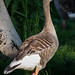 "Goose • <a style=""font-size:0.8em;"" href=""http://www.flickr.com/photos/38993295@N08/18368239458/"" target=""_blank"">View on Flickr</a>"