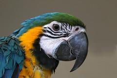 MACAW (gazza294) Tags: flickr flicker flckr flkr garymargetts gazza294