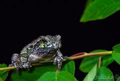 Gray tree frog (Ron Gallagher Photography) Tags: tree nature nikon wildlife gray frog urbanwildlife graytreefrog wildlifephotography d7100 nikond7100
