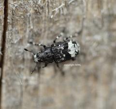 Tropideres albirostris (Phil Arachno) Tags: germany insecta hexapoda arthropoda hessen coleoptera schwanheimerdüne schwanheim deu anthribidae breitrüssler