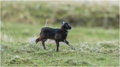 Black lamb running (pstani) Tags: uk animal scotland sheep lamb shetland mainland skeld