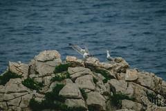 10072016DSC_0780.jpg (Ignacio Javier ( Nacho)) Tags: flickr aves gaviotas facebook faunayflora
