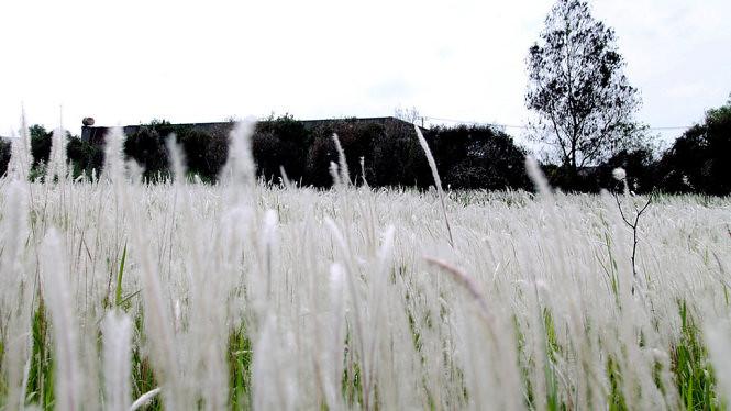 Đồng cỏ lau huyện Đức Hòa, Long An 1