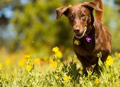 She Survived (KB RRR) Tags: dog colorado rockymountains frontrange chocolatelabrador shyla