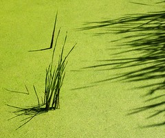 Reed Shadows (jim.choate59) Tags: shadow abstract reeds point pond sharp algae minimalism oregongarden jchoate