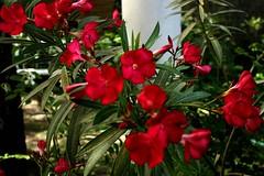 Heilbad Harkany IMG_0796 (nb-hjwmpa) Tags: harkany oleander hungary ungarn