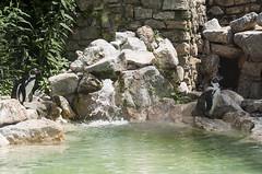 Pinguini di Humboldt (querin.rene) Tags: renquerin qdesign parcolecornelle parcofaunistico lecornelle animali animals pinguino pinguinodihumboldt cile per