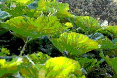 Img_3133 a (steven.heywood) Tags: butterbur leaves