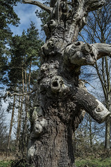 Ancient Oak in the Park - Hatfield House (GOR44Photographic@Gmail.com) Tags: oak tree trees hatfield house fir gor44 bark green fujifilm xpro1 xf35mmf14 35mmf14